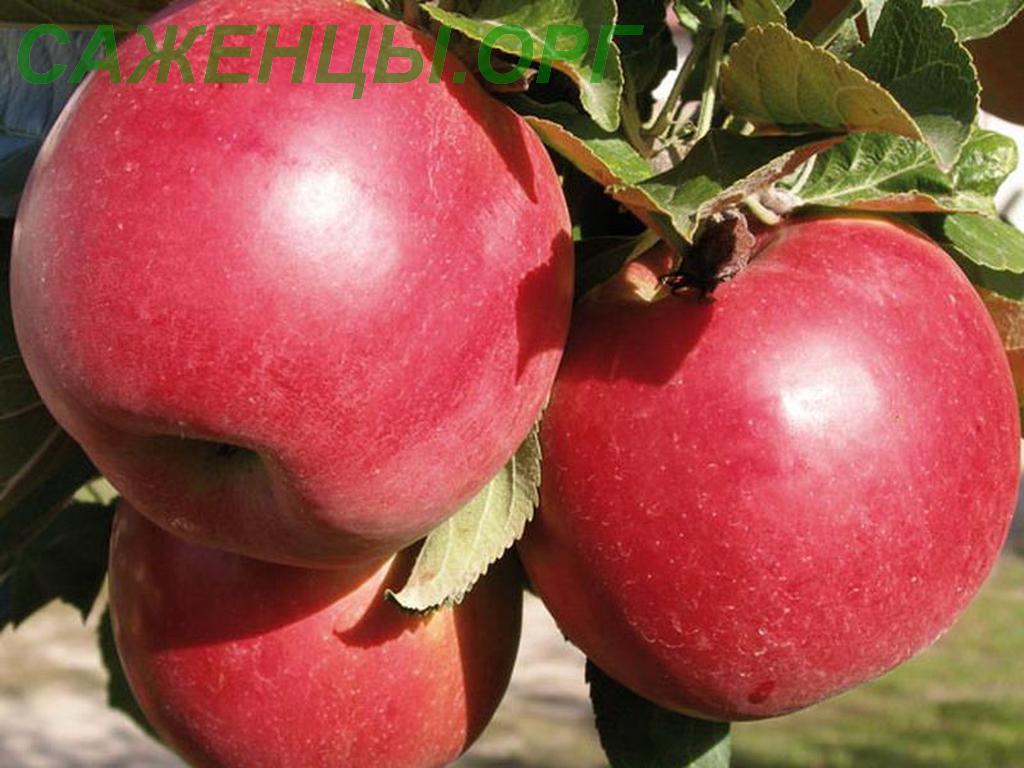 Сорт яблони Джонаголд: фото, отзывы, описание, характеристики.